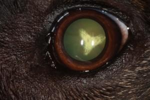 Cataracte chien (28)