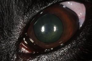 Méningiome cécité chien