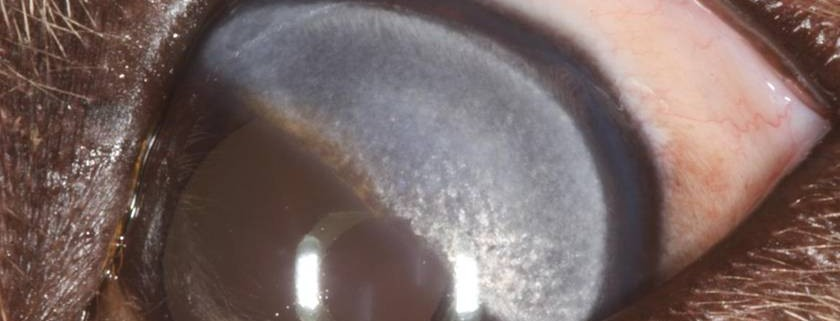 Dystrophie cornéenne stromale retriever