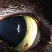 Corps étranger cornée chat