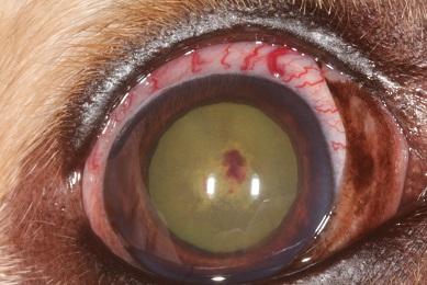 Uvéite hypertensive lymphome chien
