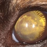 Microsphérophakie chien