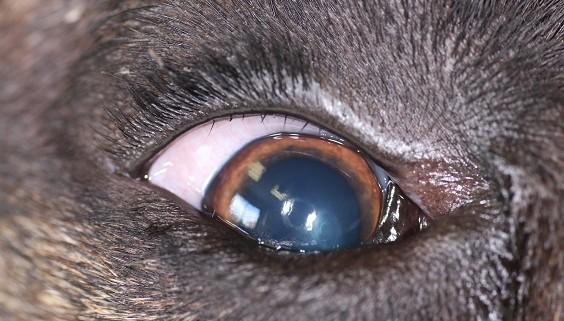 Distichiasis chien michaud vétérinaire ophtalmo