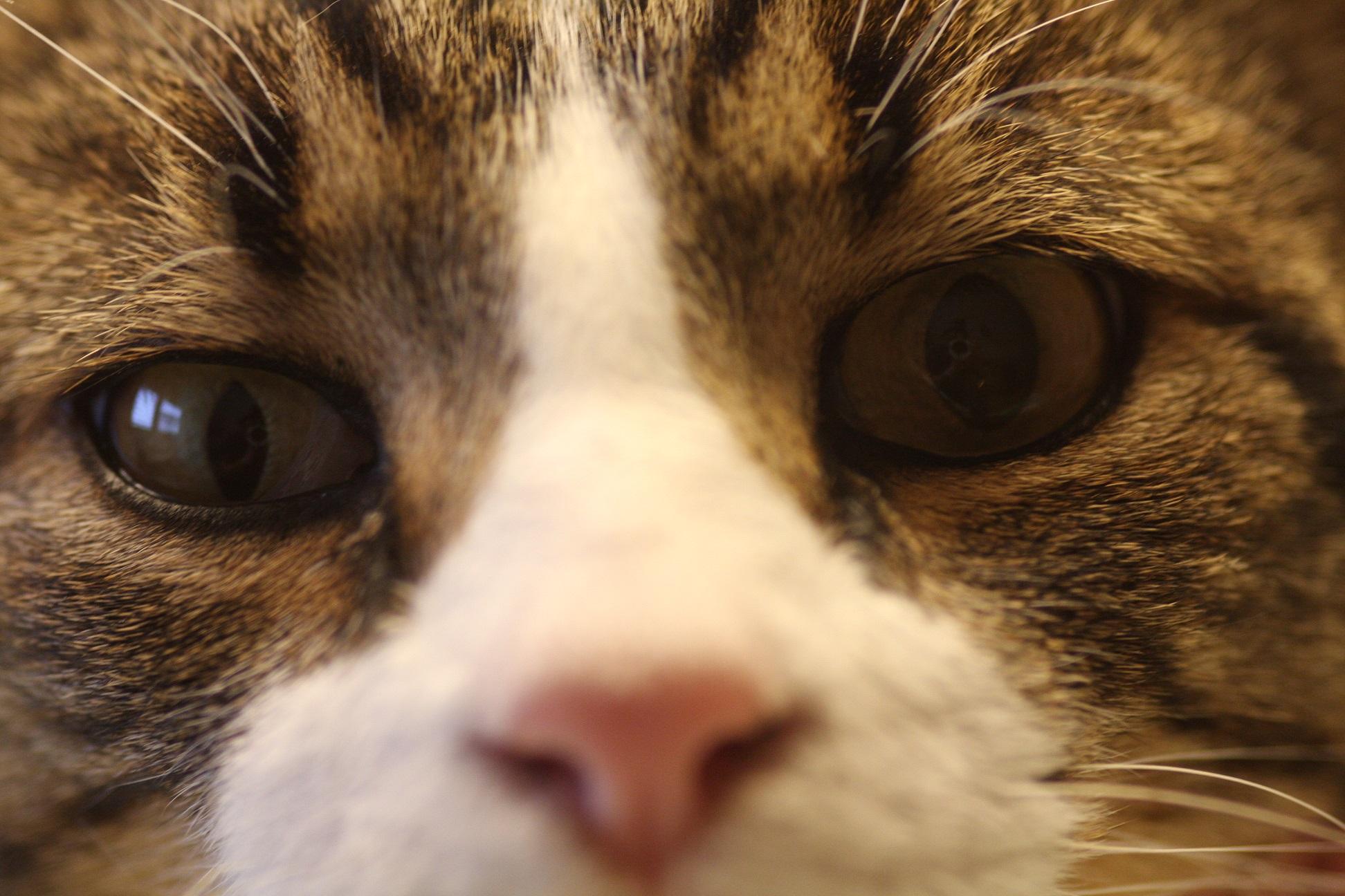 Anisocorie Chez Un Chat Atteint De Leucose Vision Animale
